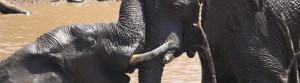 約翰尼斯堡大象